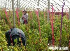 瓜果蔬菜唱主角 保定市农业生态园迎来首批采摘客